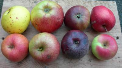 selection of unusual apples, nov 2015