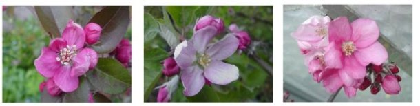 redfleshed apple blossoms