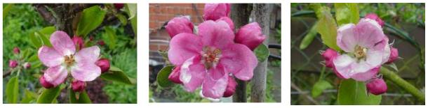 redfleshed apple blossoms:hidden rose, almata, pink pearmain