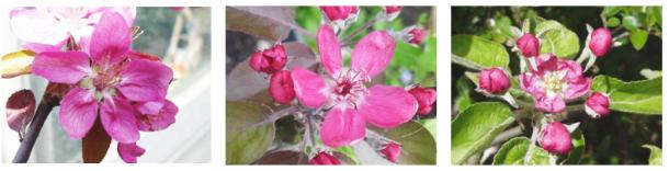 redfleshed apple blossoms: hidden rose, almata, pink pearmain