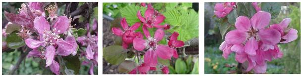 redfleshed apple blossoms: Reinhard's Purple Radish, Weirouge, Burford's Redflesh
