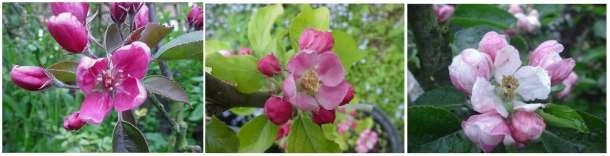 (mainly)redfleshed apple blossoms: Maypole, Rubaiyat, Golden Noble