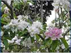 different coloured apple blossoms on the tree above - mm106, pink pearmain, hidden rose