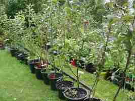 young apple trees on rootstock mm106, three years after grafting