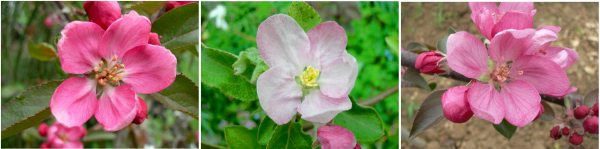 apple blossoms, leicestershire heritage apple project